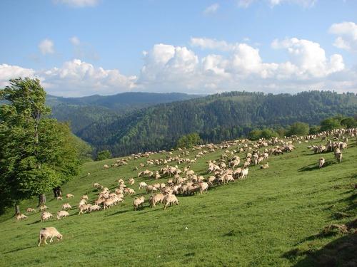 Pastorit-montan-in-judetul-Alba