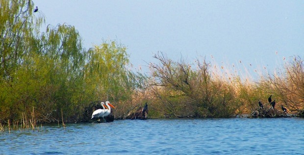 Dalmatian_Pelican_and_Great_Cormorant_in_danube_delta (1)